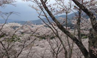 桜色の明るさ